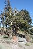 Big juniper