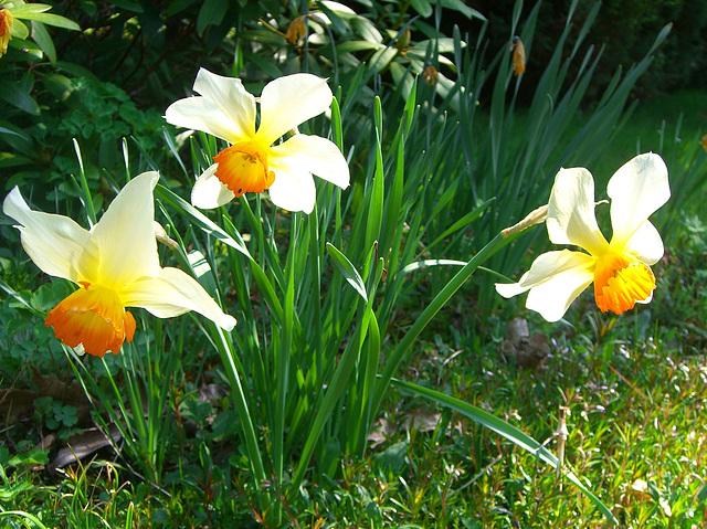 052  Narzissen läuten den Frühling ein
