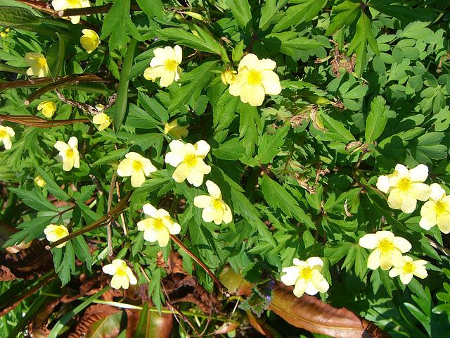 053  Gelbe A. nemorosa entstanden in Leipzig