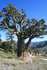 Large juniper at Squaw Valley