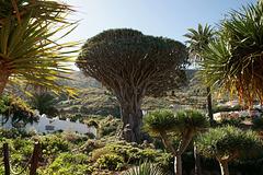 Drago Tree