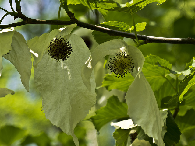 Leaf and fruit of the tree of handkerchiefs (Davidia involucrata)