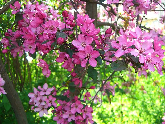 055 Blutpflaumenblüten sind eine Pracht