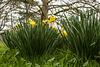 Soligor Daffodils