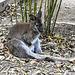 20181021 4348CPw [D~HF] Bennettkänguruh (Macropus rufogriseus), Tierpark Herford