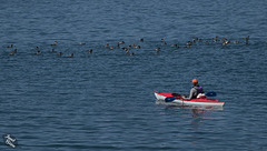 Kayaker Appreciating Flock of Common Mergansers on Lake Paulina (+14 insets!)