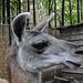 20181021 4349CPw [D~HF] Guanako (Lama guananicoe), Tierpark Herford