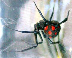Argia, Mediterranean black widow,Malmignatta.