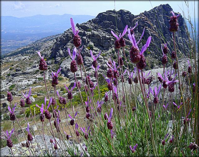 Sierra de La Cabrera and Spanish Lavender