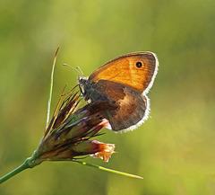 Kleines Wiesenvögelchen - Coenonympha pamphilus - Small heath