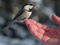 A change from a Black-capped Chickadee