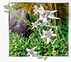 Alpen-Edelweiß (Leontopodium nivale). ©UdoSm