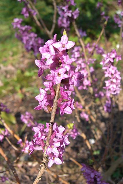 058  Der Seidelbast überrascht uns mit seinen Blüten