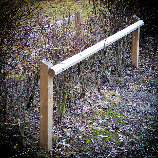Fence to protect a hedge