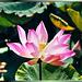 Lotusblüte (Nelumbo) in Thailand. ©UdoSm