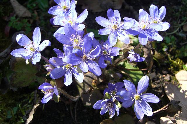 060 Hepatica nobilis - die blaue Form