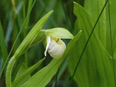 Sparrow's-egg Orchid / Cypripedium passerinum