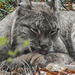 20181021 4357CPw [D~HF] Luchs, Tierpark Herford