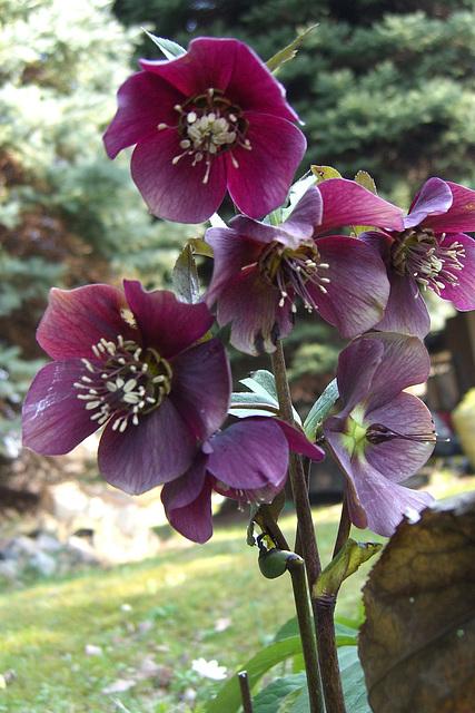 062 Lenzrosen Helleborus orientalis sind auffallende Erscheinungen