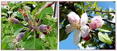 Aus Apfelblüten wurden Früchte.  ©UdoSm
