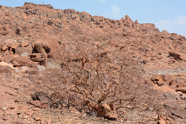 Namibia, Dried up Trees at the Twyfelfontein Valley