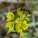 Euphorbia spec. und Helophilus spec. (eine Sumpf-Schwebfliegen-Art) 2015-04-20--D4 DSC0251