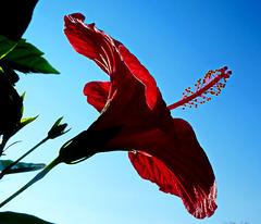 Il primo fiore di ibisco
