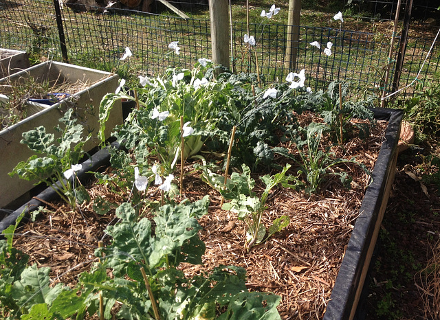 eco-friendly cabbage white butterfly repellent