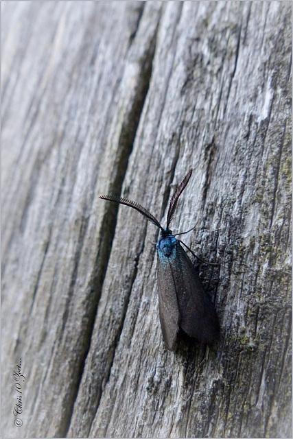 Bruine metaalvlinder (Rhagades pruni)...