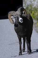 Bighorn sheep, Canada