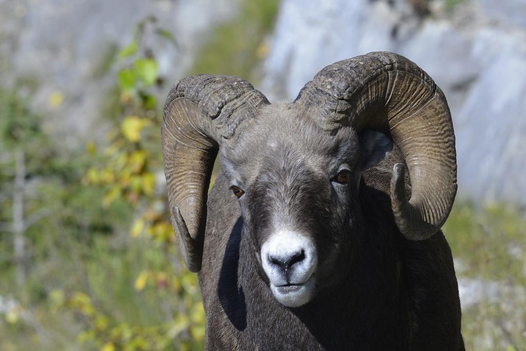 Bighorn sheep, Canada   DSC4937