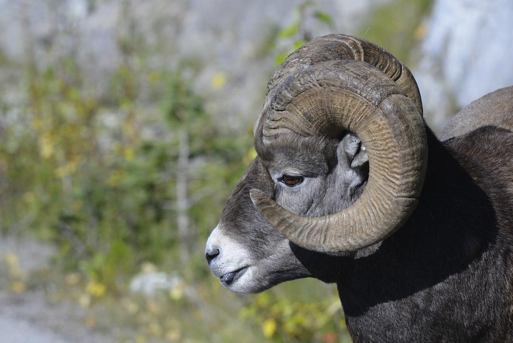 Bighorn sheep, Canada   DSC4938