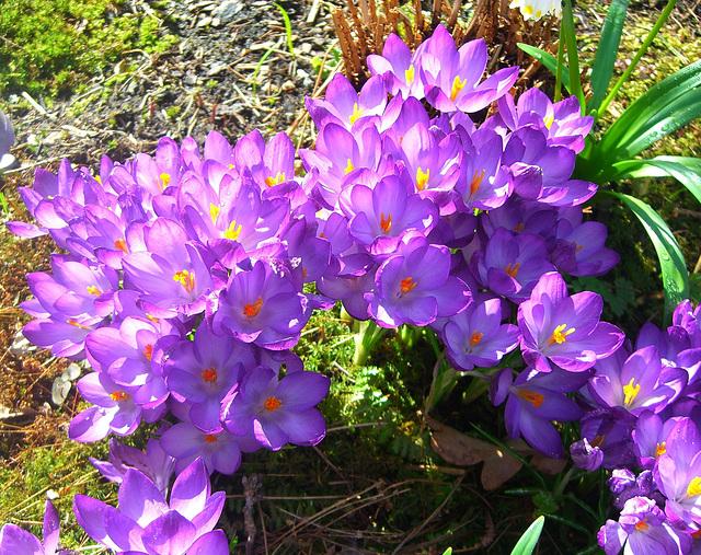 069 'Nackte Jungfern' - Krokusse geben dem Garten Farbe