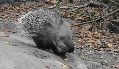 20181021 4372CPw [D~HF] Weißschwanzstachelschwein (Hystrix indica), Tierpark Herford
