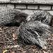 20181021 4373CPw [D~HF] Weißschwanzstachelschwein (Hystrix indica), Tierpark Herford