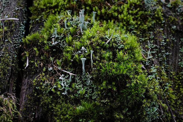 Cladonia fimbriata, Canada L1011000
