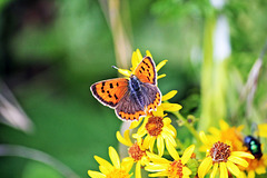 Small Copper  ~ Lycaena phlaeas