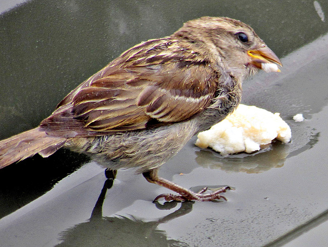 Mrs Sparrow Having Lunch.