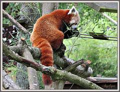 Panda Roux !