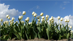 Happy Tulips, looking at the Sky...