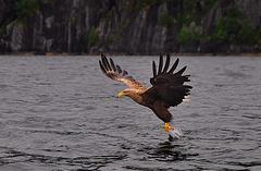 Seeadler beim Fischfang