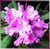 Rhododendron-5... ©UdoSm