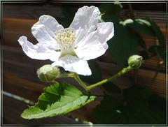 Brombeerblüte (Rubus sectio Rubus). ©UdoSm