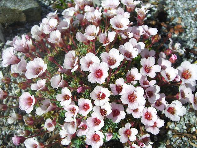 073  Manche Saxifraga blühen schon im Januar