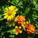 False Sunflower with Sweat Bee & Lantana
