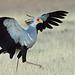 Messager sagittaire/Secrétaire  (Secretary bird )