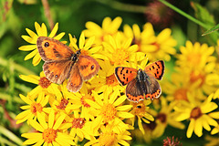 Gatekeeper and Small Copper together