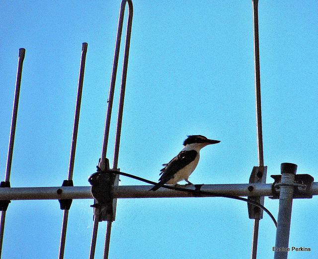 Kingfisher Perching.