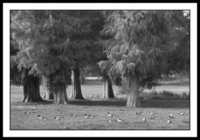 Parterre de canards