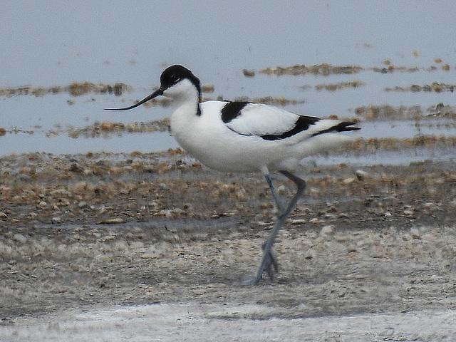 20170517 1496CPw [A] Säbelschnäbler (Recurvirostra avosetta), Neusiedler See